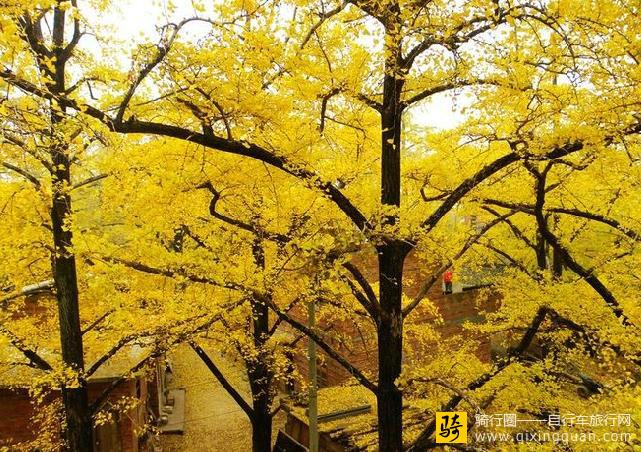灵川县海洋乡海洋银杏林
